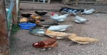 Free range Red Road Island ,Sussex ,Leghorn, and Orpington chickens