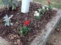 Dusty Miller,  Red SnapDragons, and white Petunia pine bark mulch flower bed.