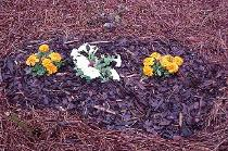 White petunia, French Marigold in a pine bark mulch and pine straw flower bed.