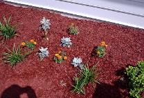 Red mulch flower bed with dusty millers, golden euonymus and French Marigold Boy Series