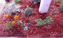 Dusty Millers, French Marigolds, Dianthus, Petunias, red mulch flower bed.