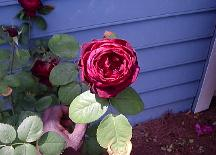 Red rose in hot June weather