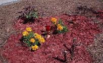 Long stem rose bush, red celosia French Marigold Boy Series flowers in red mulch flower bed.