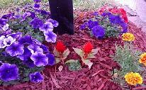 Multi blue and white petunias, red celosia, French marigold boy series flowers, red mulch mailbox flower bed.